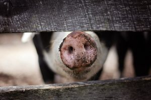 Canadian swine herd is imported to Russia